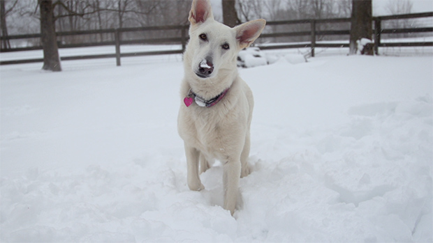 "Mia - White German Shepherd from ""Savour Every Moment"" by Keith Hopkin"