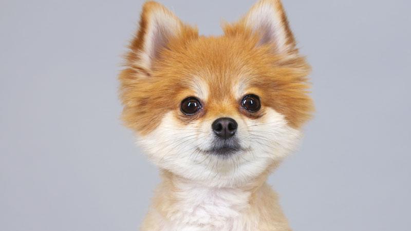 100 Years of Pomeranian Beauty in 60 Seconds by Keith Hopkin